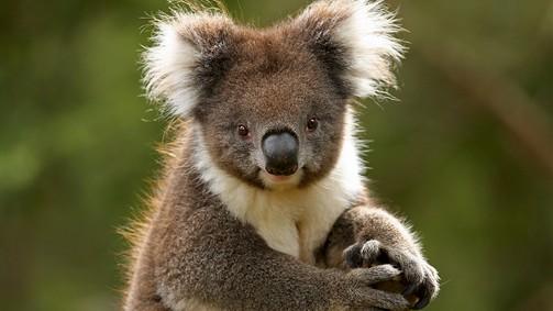 VVLand__9115940_AO67_koala9.ashx